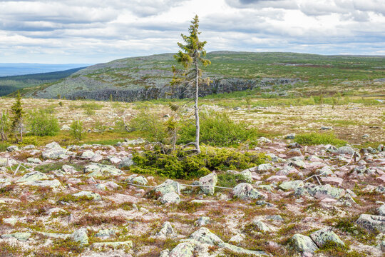 Old Tjikko the world's oldest tree.