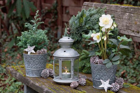 Winter-Gartendekoration mit Helleborus niger und Konifere im Zinktopf und vintage Laterne