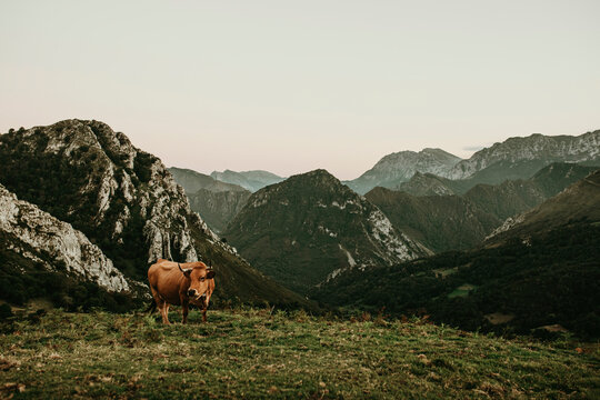 Beautiful brown cow pasturing in a meadow at Picos de Europa in Asturias, Spain.