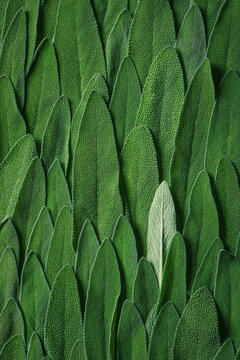 Sage leaves close up, macro