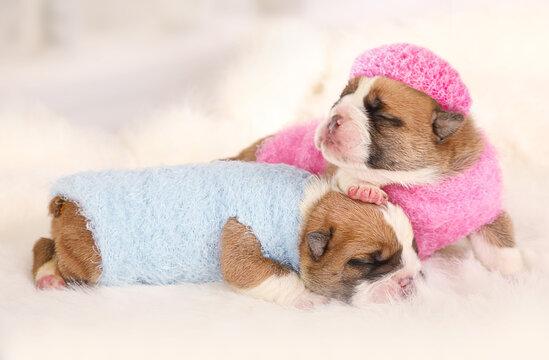 Two cute newborn English bulldog puppies sleeping on a fur carpet