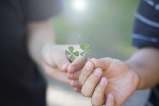 Two children's hands holding two 4-leaf clovers.