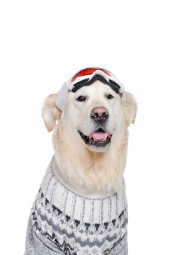 Headshot of a golden retriever wearing ski goggles on the head