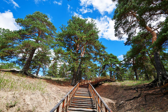 The landscape of Pinus sylvestris in Hailar park of Hulunbuir city of China.