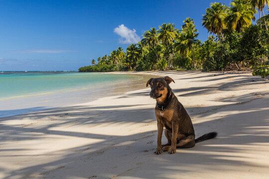 Dog on a beach in Las Terrenas, Dominican Republic