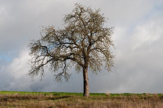 a leafless apple tree with an asymmetric canopy