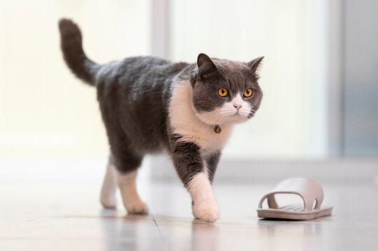 British shorthair cat walking indoors