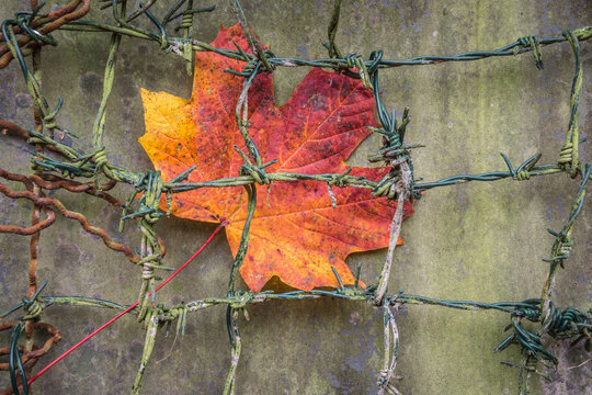 maple leaf cought in a barbwire fence