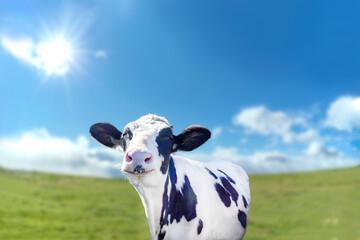青空と太陽を背景にした牧場で笑い顔の仔牛 Wall mural