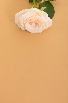White rose at the top on orange background with space below