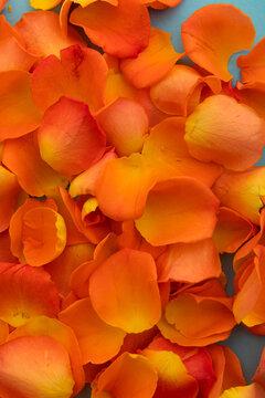 Close up of orange rose petals on blue background
