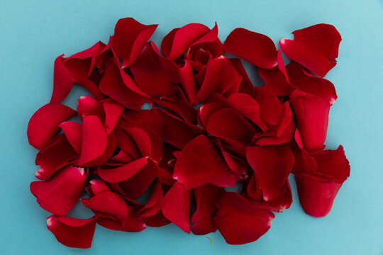 Close up of red rose petals arranged on blue background