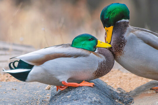 Detail portrait of male mallard duck fighting with each other