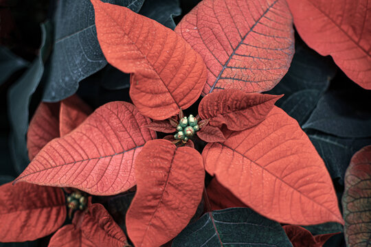 Christmas plant or Red Poinsettia Flower close up