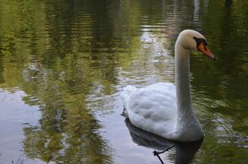 Dorosły łabędź niemy na wodzie w piękny słoneczny ranek, Cygnus olor
