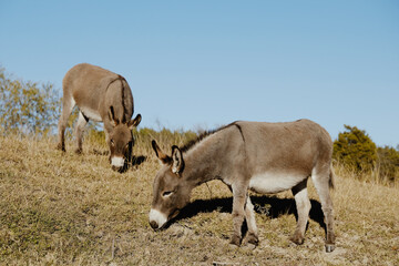 Wall Mural - Mini donkeys grazing on hillside of farm.
