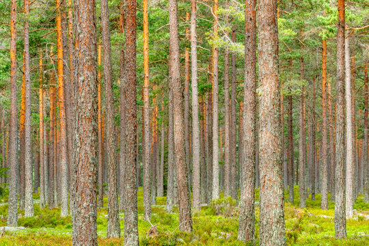 Lot of Pine tree trunks in a woodland
