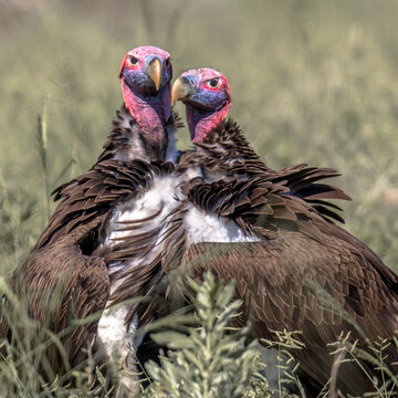 Lappet faced vultures display crop