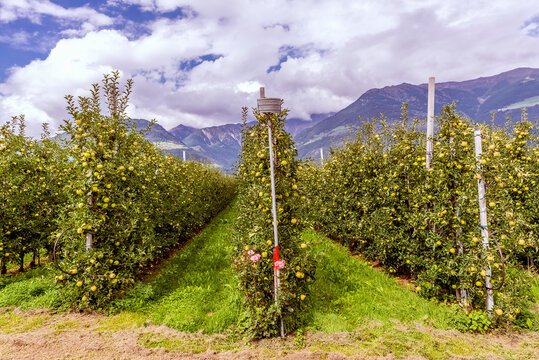 A pink rose plant at the start of a row of an apple farm in Val Venosta, Lasa, South Tyrol, Italy