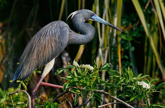 Tricolored Heron in Nest in Florida
