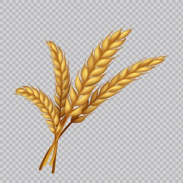 Wheat grain. Realistic golden yellow ears of barley or rye. Agricultural plant on transparent background. Packaging template for bread, flour and pasta. Bakery advertising mockup, vector harvest
