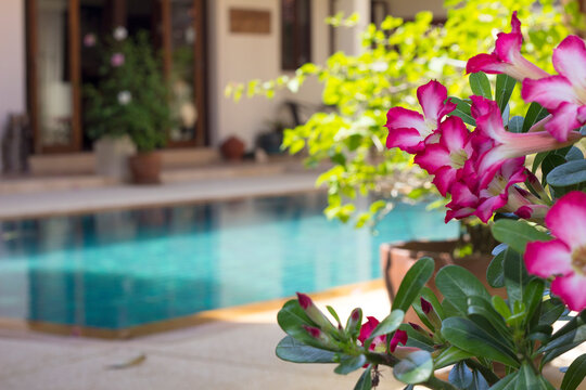 Adenium flowers by swimming pool