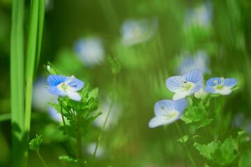 Obraz Niebieskie polne kwiaty rosnące wśród ziół na kwiecistej łące z dala od miasta - fototapety do salonu