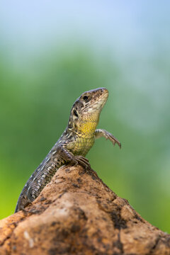 reptile - Sand lizard - Lacerta agilis.