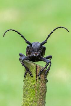 a Weaver beetle - Lamia textor - longhorn beetle