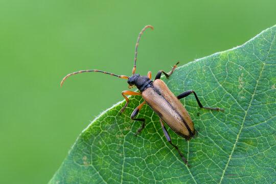 insect - longhorn beetle - Pidonia lurida