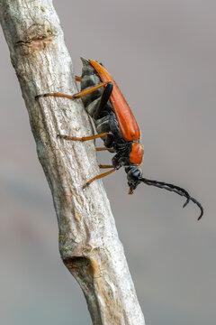 insect - longhorn beetle - Red-brown Longhorn Beetle - Stictoleptura rubra