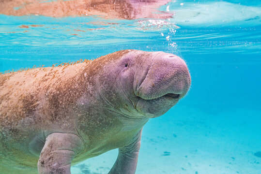 Closeup of cute manatee face swimming through clear blue water in river
