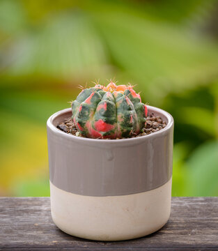 Lophophora williamsii, Cactus or succulents tree in flowerpot on wood striped background