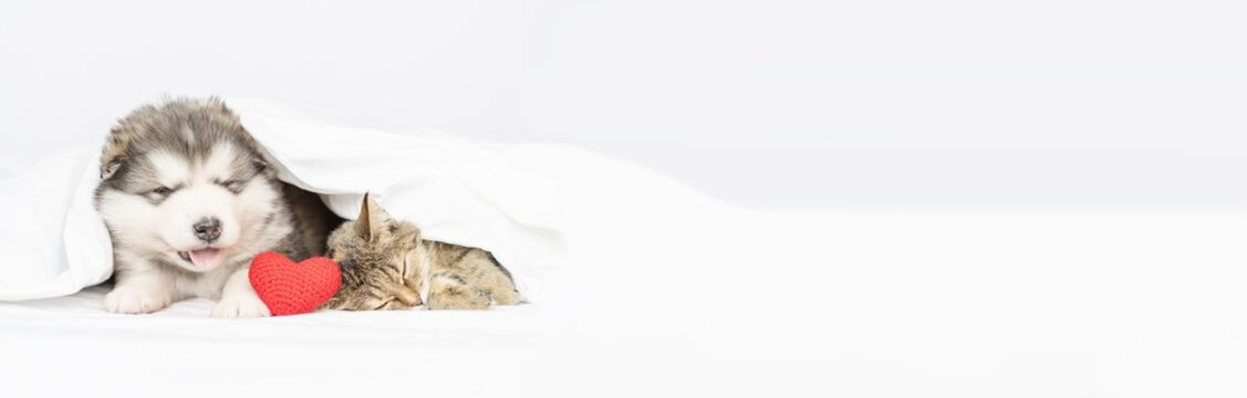 A fluffy Malamute puppy lies next to a tabby cat on a bed under a white blanket with plush hearts in its paws.  Stretched panoramic image for banner