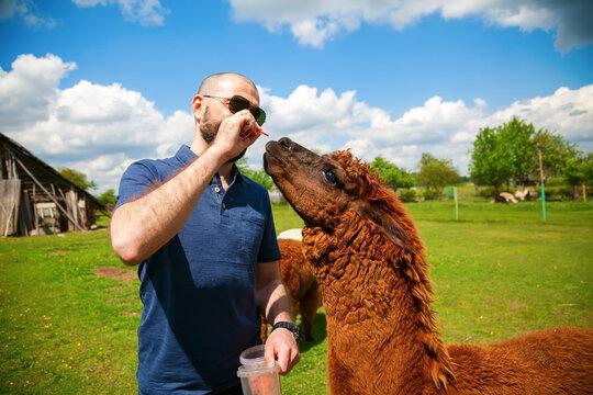 man feeding brown alpaca