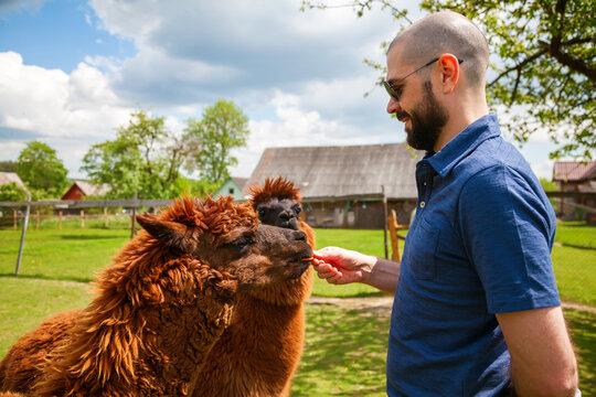 Man feeding two brown alpacas