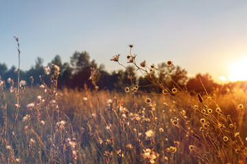 Obraz Abstract warm landscape of dry wildflower and grass meadow on warm golden hour sunset or sunrise time. Tranquil autumn fall nature field background. Soft golden hour sunlight at countryside - fototapety do salonu