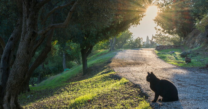 Beautiful black cat on a path through a mediterranean olive grove, with a morning sun bursting through the trees; Jerusalem Israel