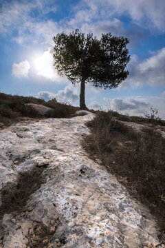 Lonely pine tree on a side of a mountain, with rocky groung creating a path; Judean Hills surrounding Jerusalem, Israel