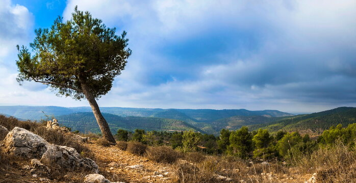 Lonely pine tree leaning on top of a mountain in the Judean Hills surrounding Jerusalem, Israel