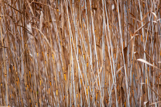 reeds on the lake.reeds on the last day of autumn