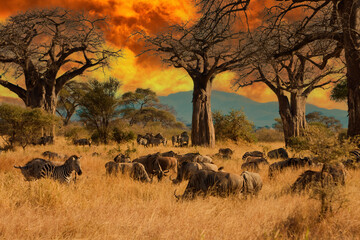Herd of wild animals including wildebeest and zebra during migration through East Africa feed on grass under baobab trees during a colorful sunset