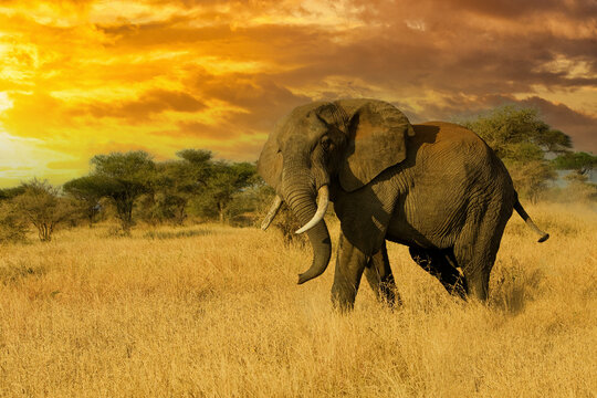 Large bull african elephant in the savannah under orange colorful sky