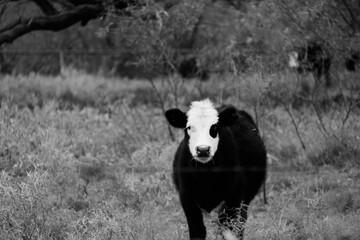 Wall Mural - Black Baldy cow in winter field on farm.