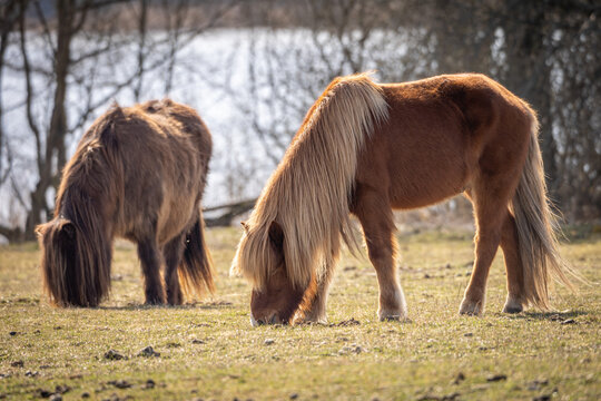 Swedish Northern Horses in the field at the lake