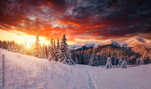 Wall mural Scenic image of spruces tree in frosty evening. Location place Carpathian mountains, Ukraine.