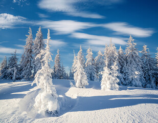 Wall Mural - Impressive winter spruces in snow on a frosty day.