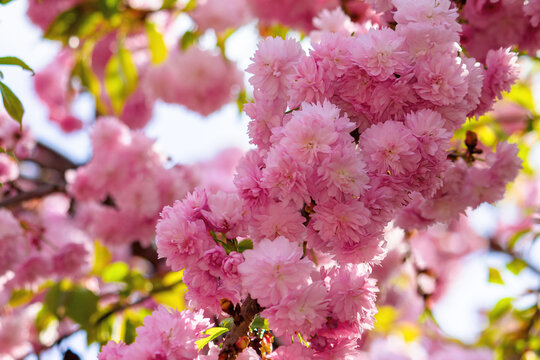 pink cherry blossom in spring time. lush flowers sakura on branches in morning light. beautiful nature background