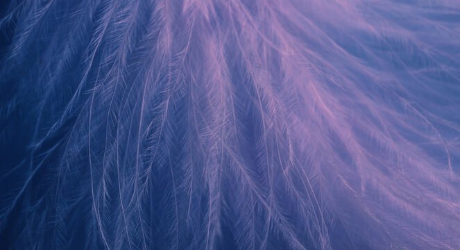 Abstract blurred bird feather background in blue magenta colors