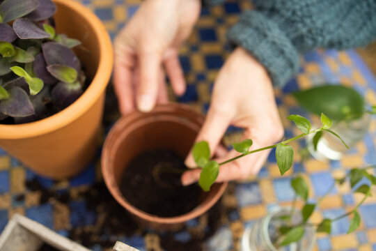 Close Up Of Woman Planting Houseplant Cutting Into Compost Filled Pot Outdoors